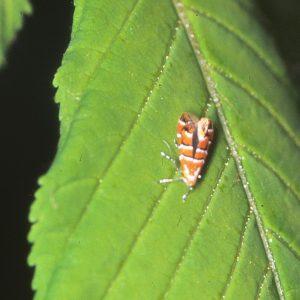 Orange Motte mit weißen und schwarzen Streifen auf einem Kastanienblatt