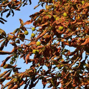 Kastanie mit braunen Blättern und unreifen Kastanienfrüchten.
