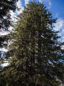 Ein Fichte mit mehrere Stämmen sieht aus wie mehrere Bäume