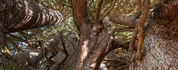 Blick nach oben in ein Gewirr aus Ästen uns Stämmen der Fuchstanne