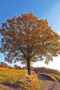 Baum mit golden herbstlichen Blättern am Wegesrand