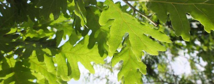 Eichenblätter im Sonnenlicht