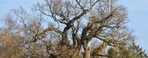 Knochige Krone einer alten Eiche