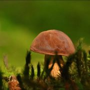 Brauner Pilz im Moos versteckt