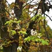 Kranke Kastanie mit frischen, jungen Blättern und Blüten im Herbst