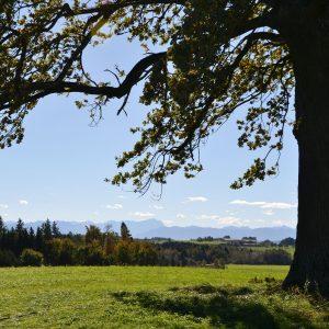 Im Hintergrund eines Baumes erhebt sich das Alpenpanorama