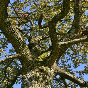 Blick nach oben in das Astgeflecht einer Baumkrone