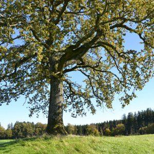 Stamm und Korne des The Tree of Münsing