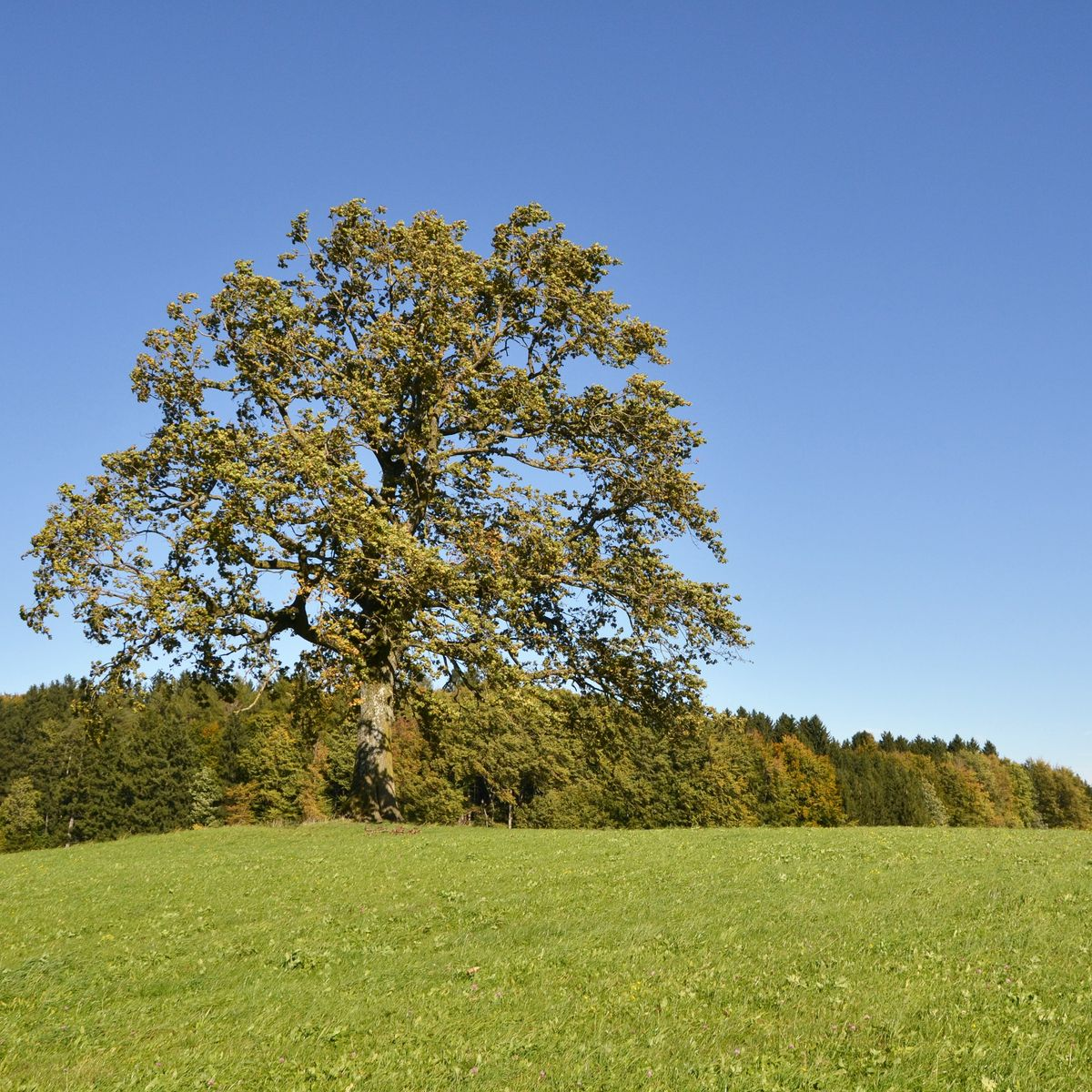 Starke Baumtypen: The Tree of Münsing