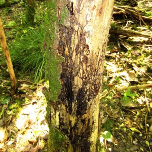 Baum ohne Rinde mit schwarzen Pilzgeflecht an der Oberfläche