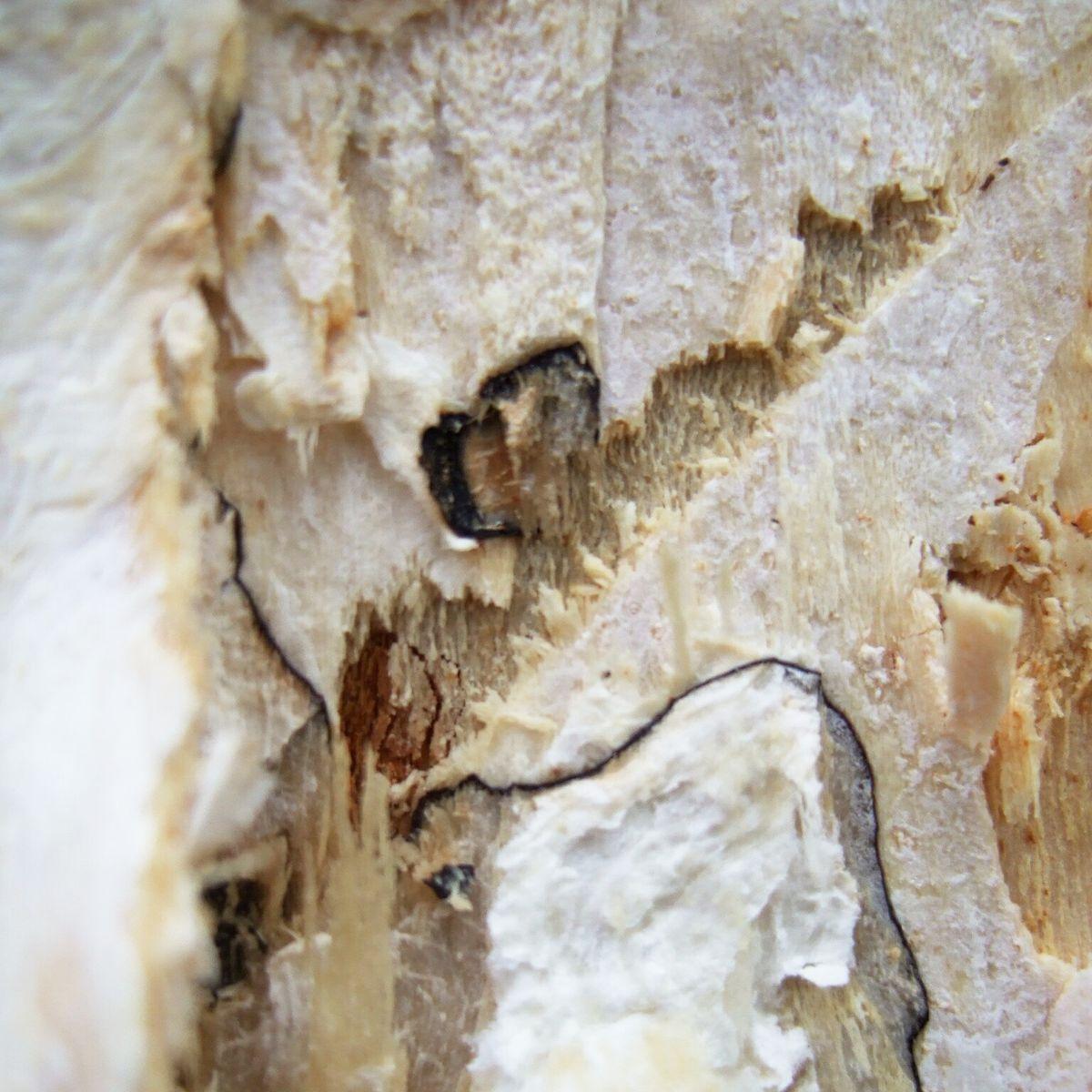 Gefährlicher Baumpilz: Der Hallimasch