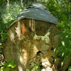 Umgesägter Buchenstamm ist im inneren morsch und von weißen Myzel durchsetzt
