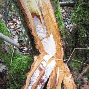 Hinter der abgeschlagen Rinde eines Baumes ist ein weißes Geflecht.