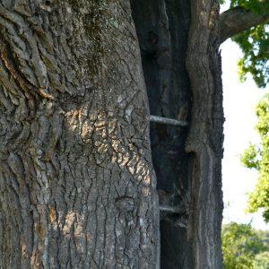 Riss in einem Baum wurde mit Eisenstäben gesichert