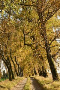 Feldweg ist beidseitig mit schiefen Birken bewachsen