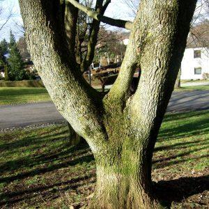 Baum mit zusammengewachsenen Stämmen