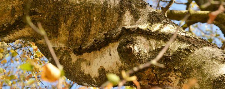 Wie Äste und Stämme von Bäumen miteinander verwachsen