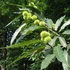 Zweig einer Edelkastanie mit Früchten und Blättern