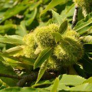 An einem Zweig sitzen zahlreiche stachelige grüne Früchte