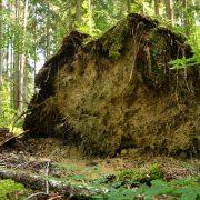 Wurzelteller einer umgefallen Fichte im Wald