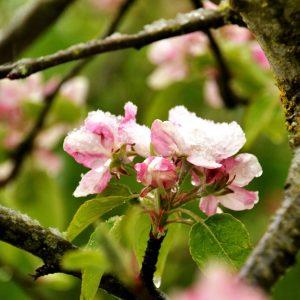 Apfelblüte und junge Blätter mit Schnee an einem Zweig