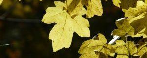 Gelbe herbstliche Blätter des Feldahorns