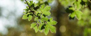 Saftige grüne Blätter des Feldahorns im Sonnenschein