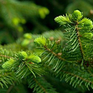 Frische grüne Nadeln einer Fichte