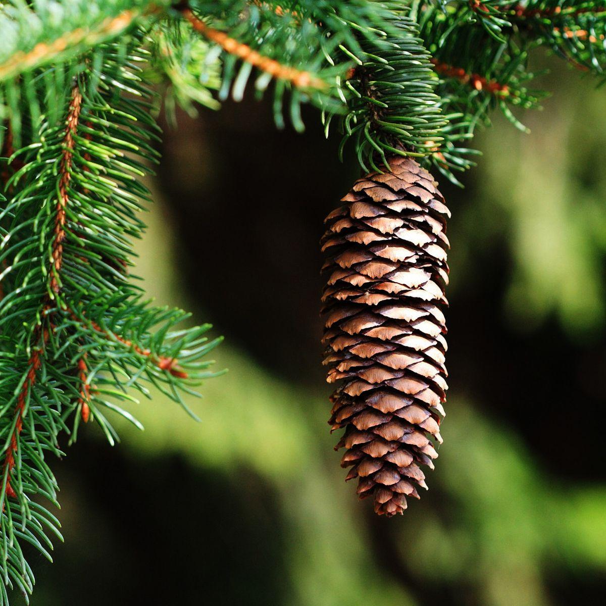 Zapfen Baum