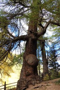 Knochirer und beuliger Stamm einer mächtigen Lärche