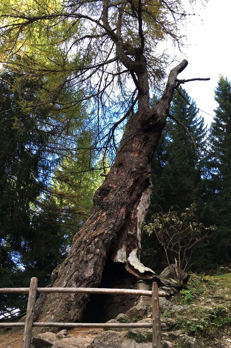 Starke-Baumtypen: Die Ultner Urlärchen