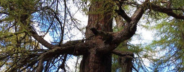 Alter Baumstamm mit mächtigen Seitenästen