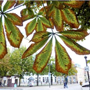 Blätter einer Kastanie mit braunen Rändern