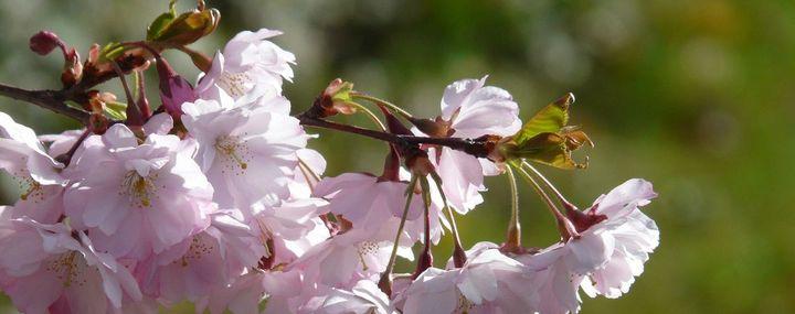 Rosefarbene Blüten der Kirsche