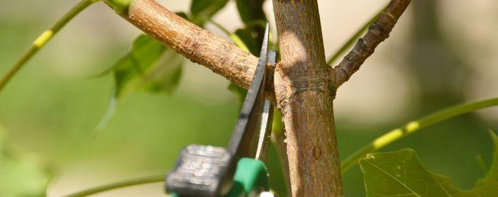 Schere die einen Zweig an einem Ast abschneidet