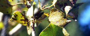 Kranke Blätter an einer Pappel