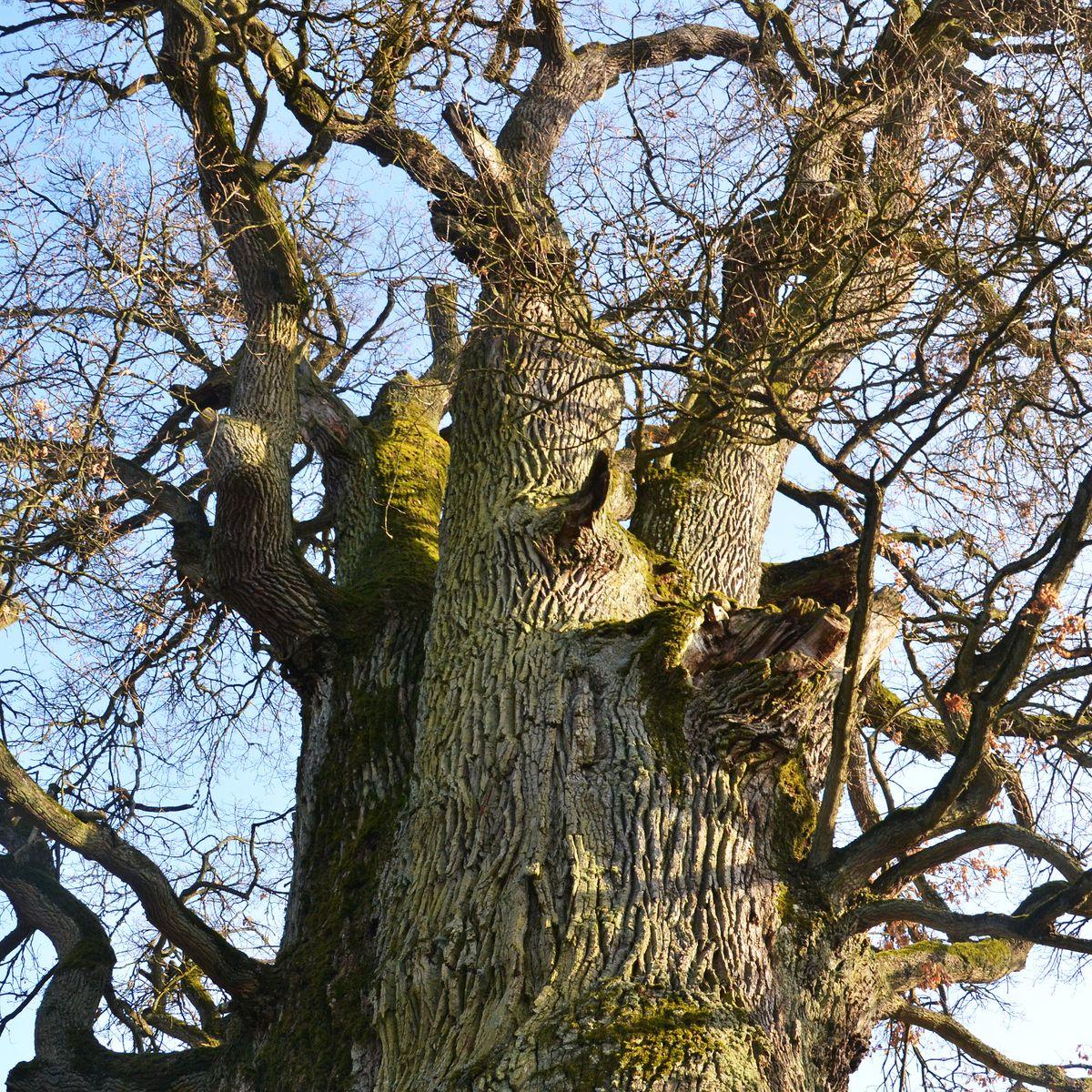 Berühmt Alte Eichen im Garten schneiden und pflegen? - Baumpflegeportal @FF_17