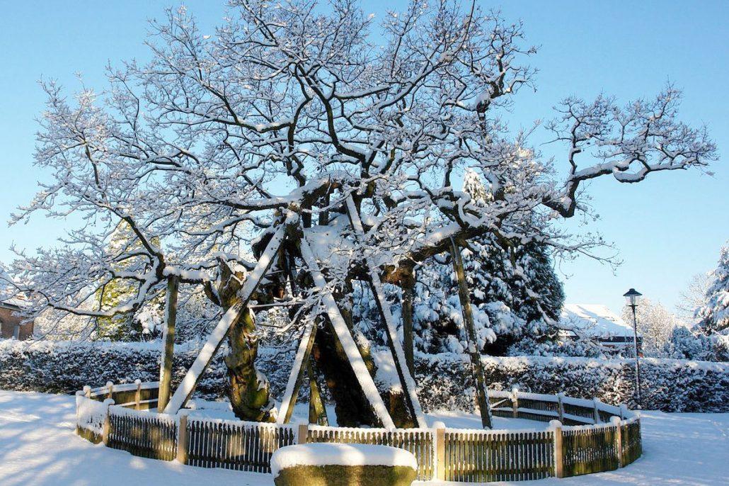 Alte mit Holzpflöcken abgestütze und eingezäunte Eiche im Winter