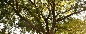 Krone eines Walnussbaumes