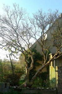 Flieder in Gestalt eines Baumes, so dick ist der Stamm