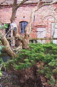 Dicker Stamm des Fliederbaumes, alter Baum