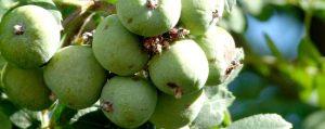 Grüne Früchte des Speierlings