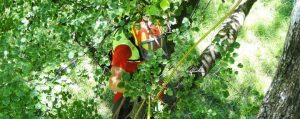 Baumpfleger in Kletterausrüstung auf einem Baum