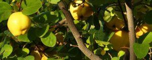 Gelbe Quitten an Baum