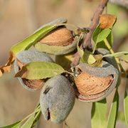 Offenen Mandelfrüchte mit Nusskern am Zweig