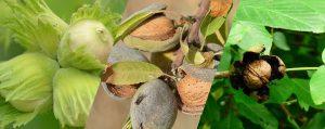 Verschiedene Nusssorten an ihren Bäumen