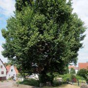 Alter mächtiger Baum in einem dörflichen Ortskern