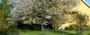 Blühender Obstbaum mit ausladender Krone neben einem Haus