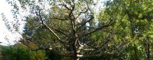 Breite Krone eines Apfelbaumes mit wenigen langen Trieben an den Zweigen