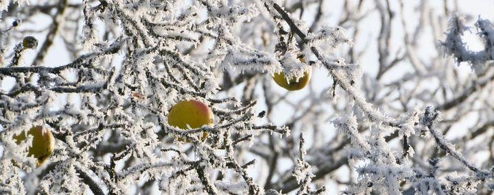 Zweige und Früchte eines Apfelbaumes mit dicken Reif überzogen